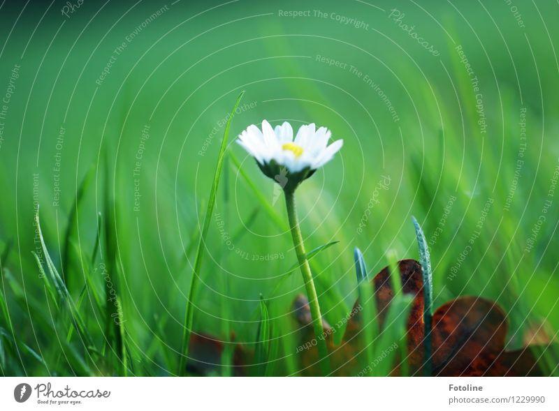 Gänseblümchen Umwelt Natur Pflanze Blume Garten Wiese hell natürlich grün weiß Blühend Farbfoto mehrfarbig Außenaufnahme Nahaufnahme Tag Licht Sonnenlicht