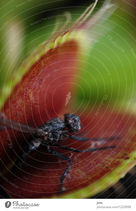dead end Pflanze Venusfliegenfalle Tier Fliege 1 sitzen exotisch grün rot Schmerz Natur stagnierend Tod Überleben Verfall Falle töten Fressen gefährlich