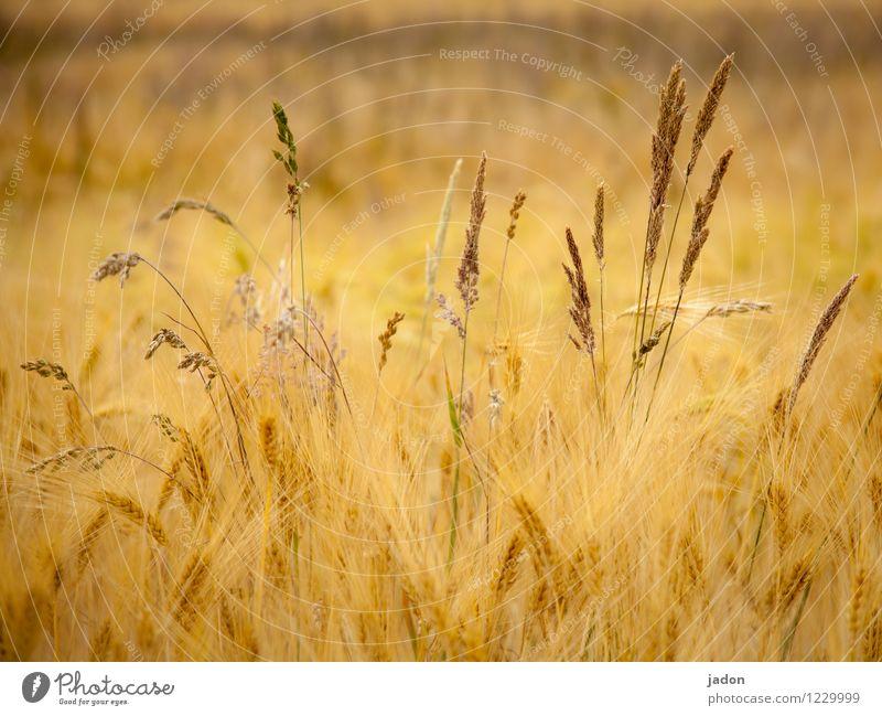 heisser sommer. Leben Sommer Landwirtschaft Forstwirtschaft Natur Pflanze Gras Sträucher Nutzpflanze Wildpflanze Getreide Getreidefeld Feld Blühend Wachstum