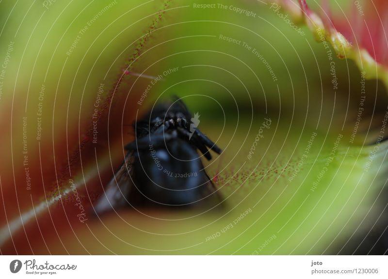 venusfliegenfalle exotisch Natur Pflanze Tier Blatt Fliege 1 fangen Fressen bedrohlich grün rot Tod Schmerz gefährlich stagnierend Überleben Verfall