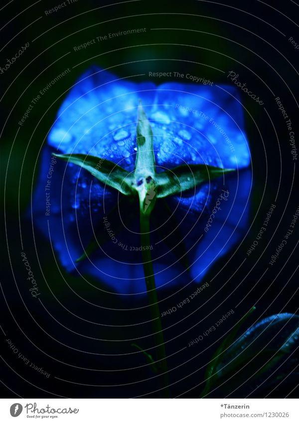 Blaue Blume Natur blau Pflanze schön Farbe Sommer ruhig Blüte außergewöhnlich Zufriedenheit Regen ästhetisch Wassertropfen einzigartig Glockenblume