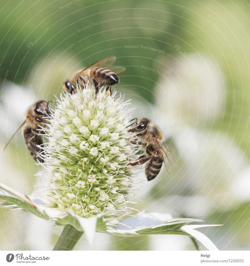 gut, dass es sie gibt... Umwelt Natur Pflanze Tier Sommer Schönes Wetter Blume Blüte Park Nutztier Biene 3 Arbeit & Erwerbstätigkeit Blühend krabbeln ästhetisch