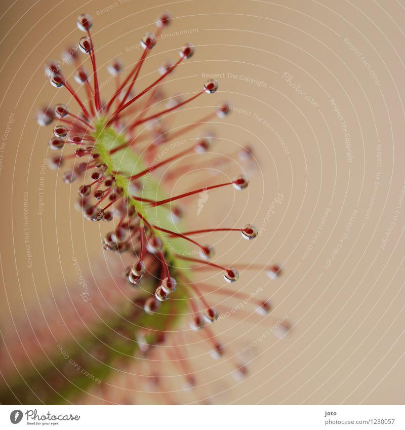 Sonnentau im Detail exotisch Sommer Natur Pflanze Blume Blatt Blüte Blühend Wachstum ästhetisch bedrohlich frisch listig grün rot Tod gefährlich