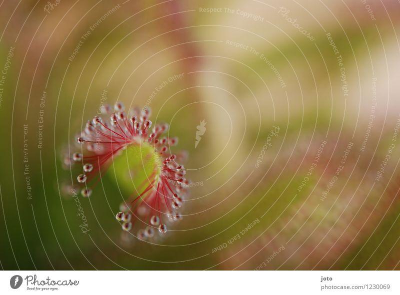 Sonnentau von oben exotisch Sommer Natur Pflanze Blume Blatt Blüte Blühend Wachstum ästhetisch bedrohlich frisch listig grün rot Tod gefährlich