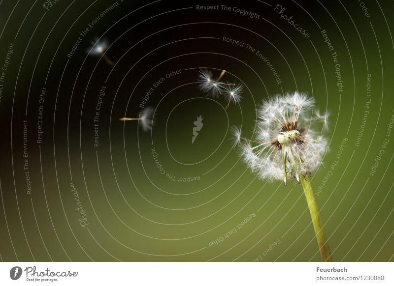 Pusteblume im Wind Natur Pflanze Frühling Sommer Blume Wildpflanze Löwenzahn Wiese fliegen Tanzen Freundlichkeit Fröhlichkeit Glück Unendlichkeit weich