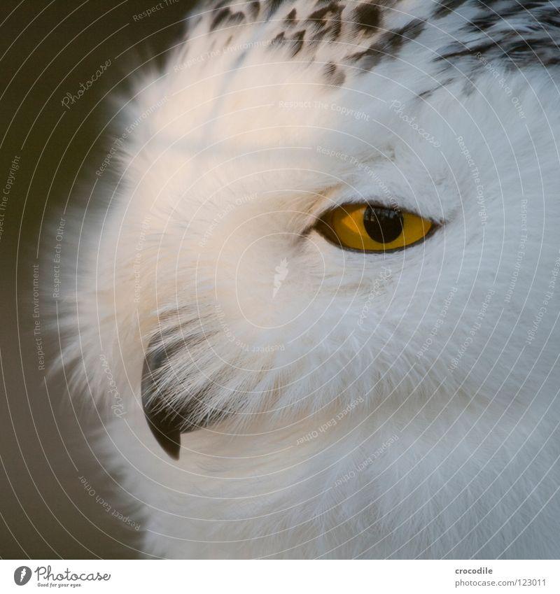 golden eye Tier Auge Vogel Feder weich Lebewesen Tiergesicht Zoo Schnabel bewegungslos Pupille Daunen Vogelkopf