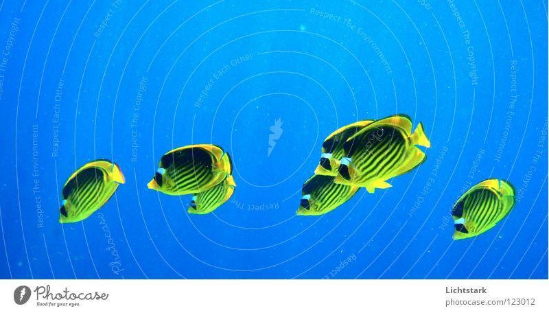 komme mit uns Wasser Meer blau gelb Spielen Fisch Afrika tauchen Tier Rotes Meer