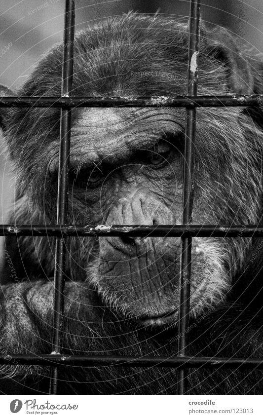 Schimpansen brauchen Freiheit l Zoo Menschenaffen gefangen Trauer Gitter Haftstrafe Stirn Fell Verzweiflung Schwarzweißfoto Säugetier Ausflug gefängniss