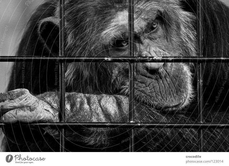 Schimpansen brauchen Freiheit ll Auge Tier Haare & Frisuren Traurigkeit Mund Ausflug Nase Trauer Ohr Fell Zoo Verzweiflung gefangen Gitter Stirn Haftstrafe
