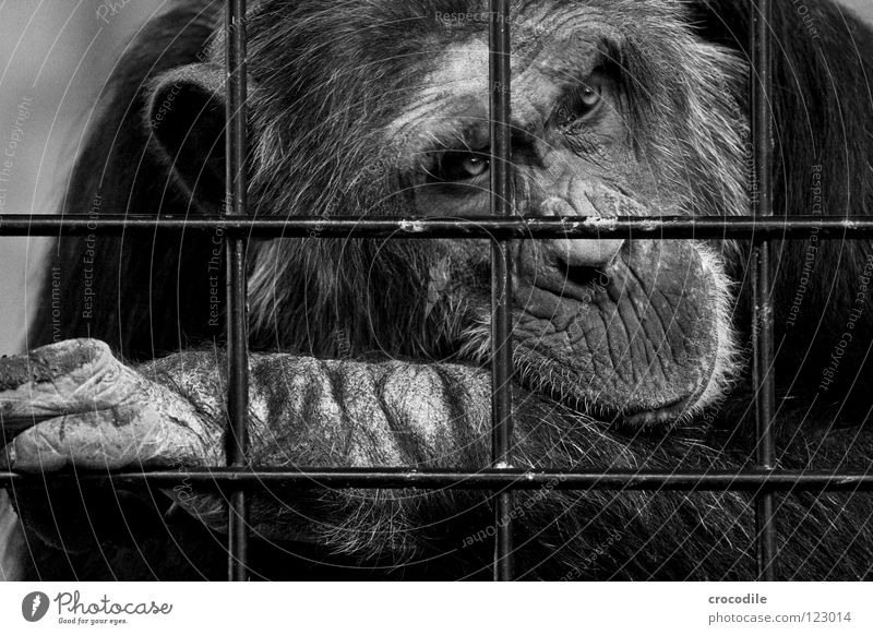 Schimpansen brauchen Freiheit ll Zoo Menschenaffen gefangen Trauer Gitter Haftstrafe Stirn Fell Verzweiflung Schwarzweißfoto Tier Ausflug gefängniss Traurigkeit