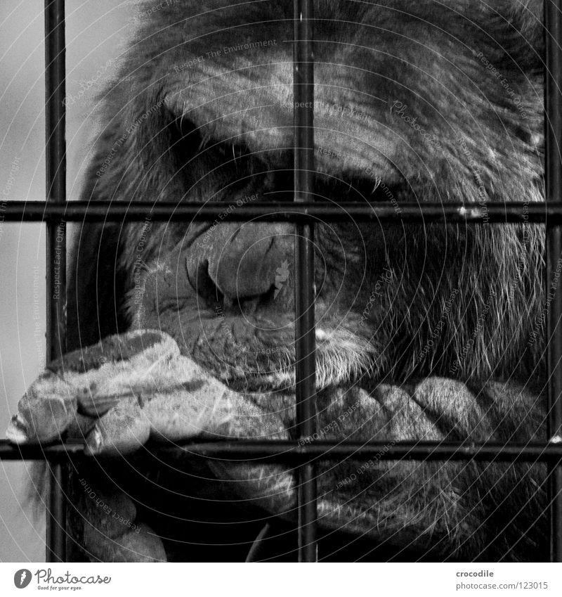 Schimpansen brauchen Freiheit lll Tier Haare & Frisuren Traurigkeit Mund Ausflug Nase Trauer Ohr Fell Zoo Verzweiflung gefangen Gitter Stirn Haftstrafe