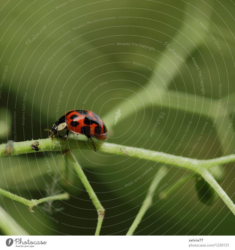 Futtersuche Natur Pflanze Tier Sommer Grünpflanze Wildtier Käfer Marienkäfer 1 Fressen krabbeln klein braun grün orange Umwelt Holunderblüte Stengel Blattläuse