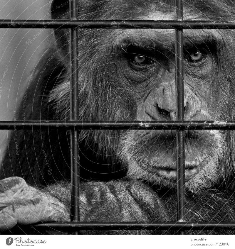 Schimpansen brauchen Freiheit lV Zoo Menschenaffen gefangen Trauer Gitter Haftstrafe Stirn Fell Schwarzweißfoto Verzweiflung Tier Ausflug gefängniss Traurigkeit