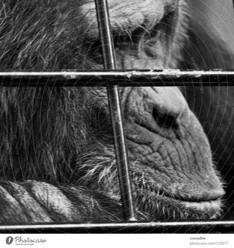 Schimpansen brauchen Freiheit V Zoo Menschenaffen gefangen Trauer Gitter Haftstrafe Stirn Fell Verzweiflung Schwarzweißfoto Tier Ausflug gefängniss Traurigkeit