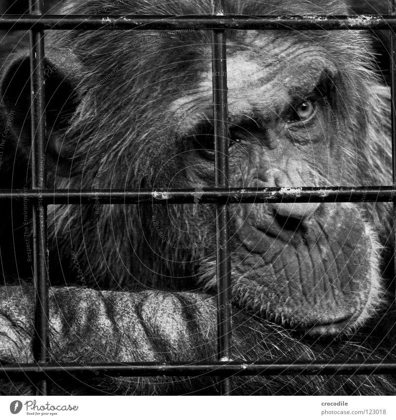 Schimpansen brauchen Freiheit Vl Zoo Menschenaffen gefangen Trauer Gitter Haftstrafe Stirn Fell Verzweiflung Schwarzweißfoto Tier Ausflug gefängniss Traurigkeit
