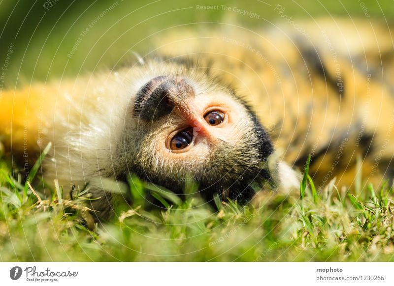 Affentheater #3 Ferien & Urlaub & Reisen Safari Umwelt Natur Tier Park Wiese Südafrika Wildtier Tiergesicht Fell Zoo 1 drehen liegen träumen exotisch klein nah