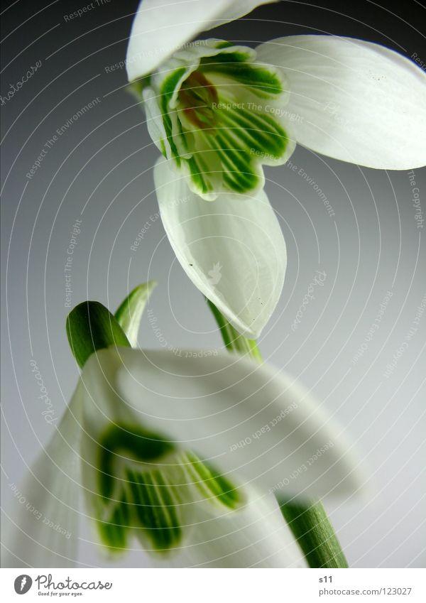 Der Frühling ist da... Natur weiß grün Pflanze Blume Frühling Blüte Park 2 paarweise Stengel Blütenblatt Glocke Schneeglöckchen