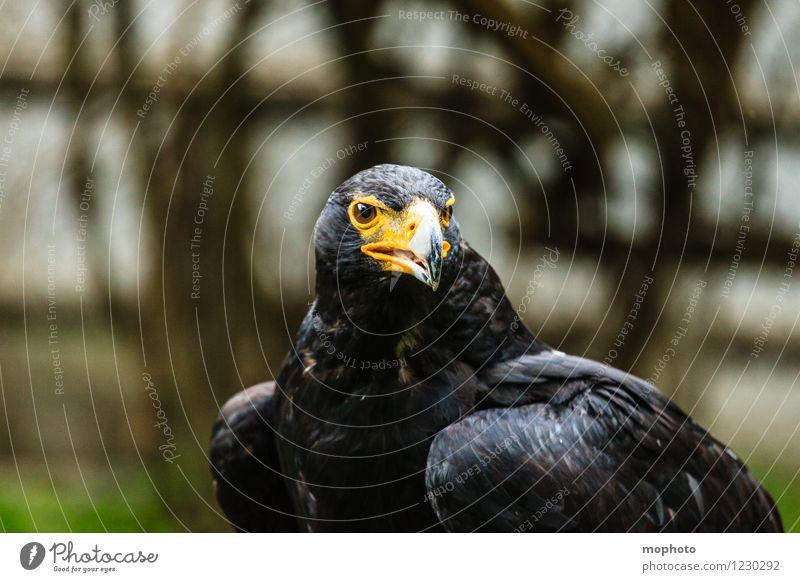König der Lüfte #3 Natur Ferien & Urlaub & Reisen Tier Umwelt Vogel glänzend wild Angst Kraft Wildtier Flügel beobachten bedrohlich stark Wut Mut