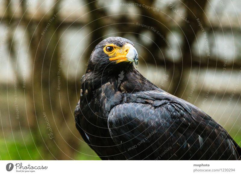 König der Lüfte #2 Ferien & Urlaub & Reisen Ferne Umwelt Natur Tier Südafrika Wildtier Vogel Tiergesicht Flügel Zoo Adler 1 beobachten hocken sitzen warten