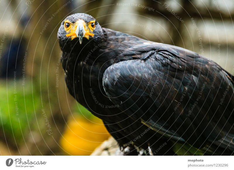 König der Lüfte #1 Safari Umwelt Natur Tier Südafrika Vogel Tiergesicht Flügel Zoo Adler beobachten hocken sitzen warten ästhetisch bedrohlich elegant exotisch