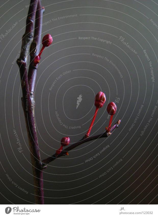 ruby Natur schön Baum rot Leben dunkel Blüte grau braun Beginn Kraft Wachstum einfach Klarheit Ast zart