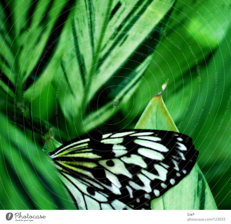 Flugblatt schön Natur Schmetterling Flügel Streifen sitzen weich grün schwarz weiß leicht fein Insekt Versteck verstecken Punkt Nahaufnahme Detailaufnahme