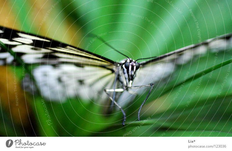Butterfly Natur weiß grün schön schwarz Kopf fliegen sitzen Streifen Flügel Insekt Schmetterling leicht fein Fühler zierlich