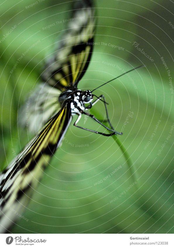 Schmetterviech I Natur weiß grün schön Freude Blume schwarz Auge Tier gelb Farbe Beine elegant fliegen sitzen