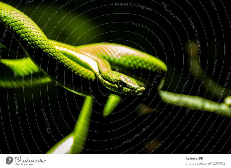 Grüne Schlange Wildtier Zoo 1 Tier Wachsamkeit Ausdauer gefährlich Misstrauen Farbfoto Innenaufnahme Unschärfe Porträt Blick