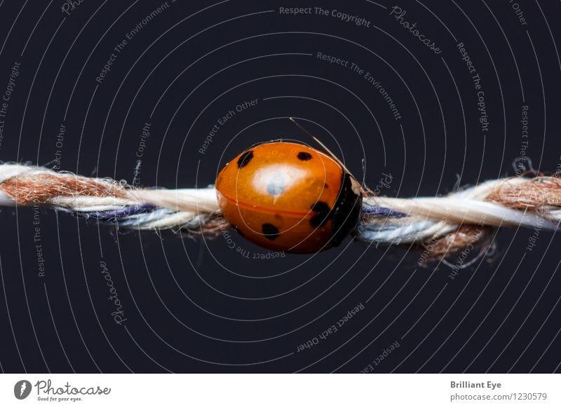 Marienkäfer hält sich auf Schnur fest Leben Sommer Natur Pflanze Tier Käfer 1 krabbeln schlafen ästhetisch glänzend klein rot Zufriedenheit Erholung schön