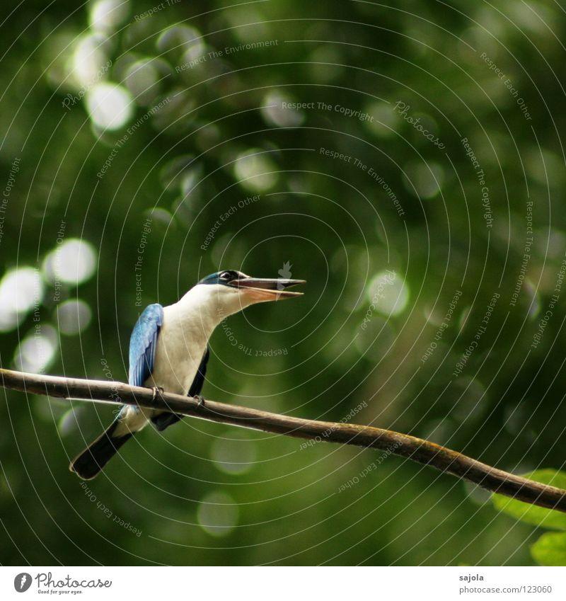 I am a king... weiß Baum blau Tier sprechen Vogel Umwelt sitzen Kommunizieren offen Asien Ast schreien festhalten Wildtier Schnabel