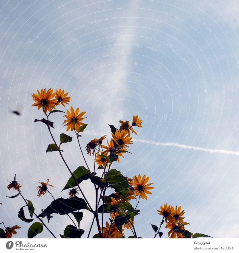 Valentinstag Himmel Blume blau Pflanze Sommer Blüte Wärme Umwelt Stengel Sonnenblume Schönes Wetter Botanik pflanzlich himmelblau Pflanzenteile Gute Laune