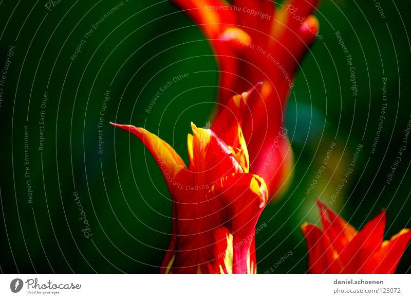 Frühlingsrotgrünkontrast Sommer Blume Blüte Hintergrundbild grasgrün Tiefenschärfe Wiese Tulpe Gras Kontrast Blütenblatt Makroaufnahme Nahaufnahme Farbe