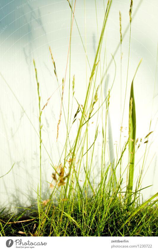 Gras Wiese Rasen Halm Natur Pflanze ruhig Schrebergarten Blühend Blume Blüte Erholung Ferien & Urlaub & Reisen Freude Garten Sommer Wachstum Textfreiraum grün