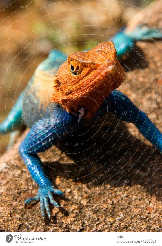 Vielfalt Natur Tier Sommer Schönes Wetter Echte Eidechsen beobachten genießen krabbeln sitzen außergewöhnlich elegant exotisch verrückt blau orange Vielfältig