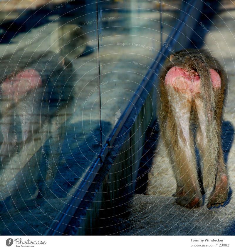 Alltag im Zoo Affen gefangen Langeweile Tier Menschenaffen Fell Säugetier Äffchen braun Zaun Gehege Spiegelbild trist Käfig Hinterteil Schwanz Lebewesen