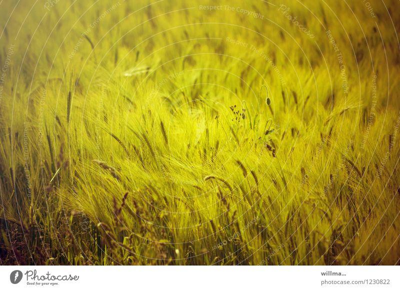 Gerstenfeldbett Getreidefeld Gerstenähre Feld natürlich gelb sommerlich Sommertag Kornfeld Farbfoto