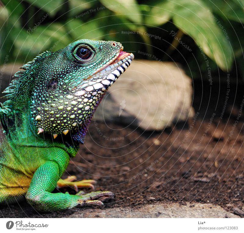 Exot exotisch Zoo außergewöhnlich Farbe Agamen Wasseragame Echsen Drache Reptil Leguane Stachel Schuppen grün Kopf Auge Maul Krallen mehrfarbig Detailaufnahme