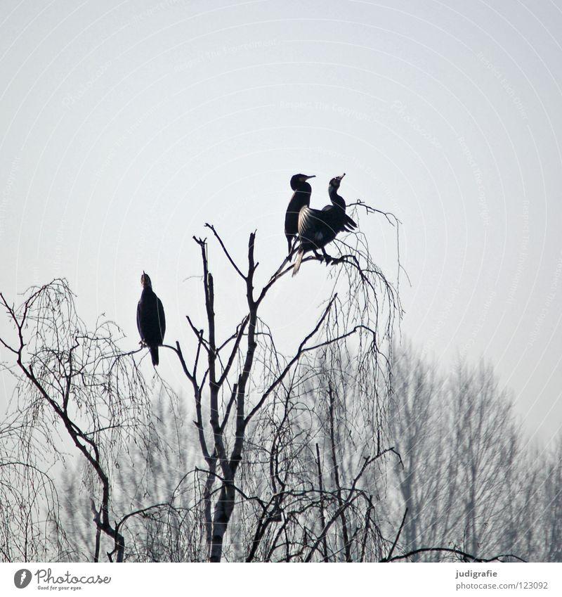 Gestern am Silbersee Vogel Birke Baum Wald Nebel trist grau Kormoran 3 Ruderfüßer See Teich Winter Himmel sitzen Aussicht Erholung Feder Küste