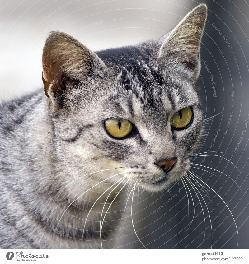 Ulli 19:46 Katze Landraubtier grün Wachsamkeit hören Genauigkeit Blick grau schwarz Konzentration Jäger ruhig Schnurren Säugetier Tieger Ohr beobachten Wildtier