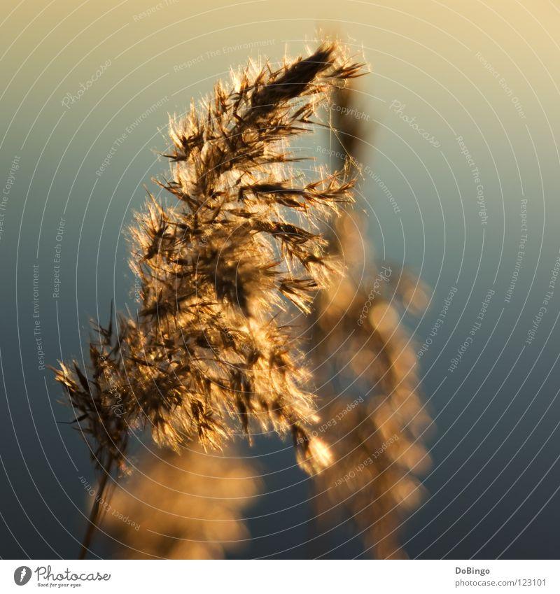 Strauchdieb Pflanze Meer Herbst Gras Frühling Küste See Sträucher trocken Schilfrohr Pollen Steinhuder Meer