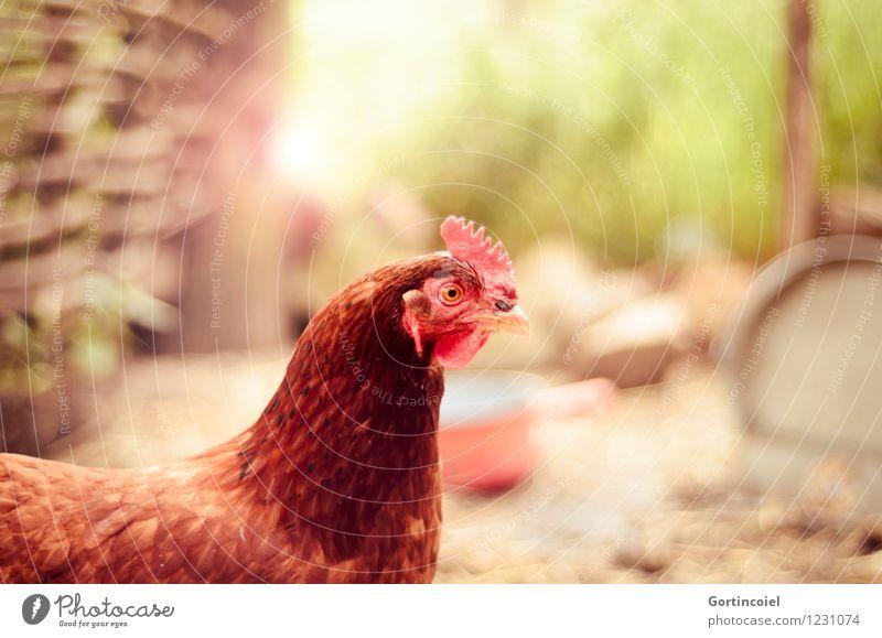 Henne Sommer Tier Nutztier Vogel Tiergesicht 1 Glück braun Haushuhn Bioprodukte Hühnerstall Freilandhaltung Landleben Feder Kamm Farbfoto Menschenleer
