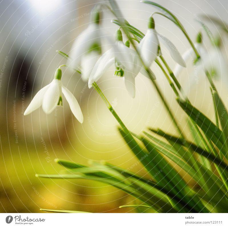 Winter... Schneeglöckchen Blume schön klein niedlich Bedecktsamer Amaryllisgewächse Frühling März Wintersonne Sonnenstrahlen Physik grün weiß Blüte Insekt
