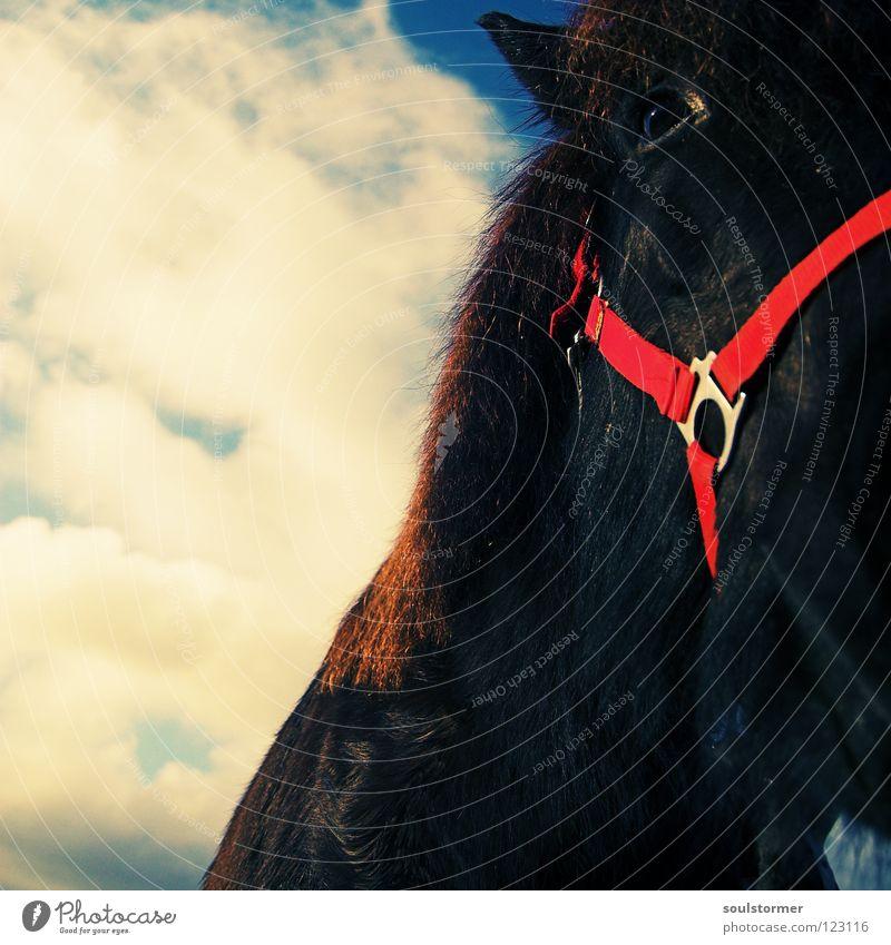 Svertla Himmel weiß blau Tier Freiheit grau braun Pferd Ohr Säugetier Cowboy Reitsport Verzerrung Mähne Pferdegangart Gelbstich