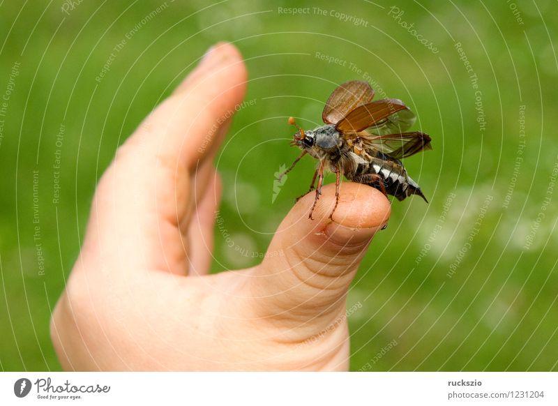 Maikaefer; Melolontha; Startend Hand Natur Tier Käfer fliegen Beginn Maikäfer Maennlich Maennchen Feldmaikaefer Schaedling Insekt cockchafer start flying