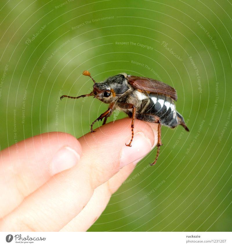 Maikaefer; Melolontha; Startend, Natur Tier Käfer Beginn Maikäfer fliegen Maennlich Maennchen Feldmaikaefer Schaedling Insekt cockchafer start flying Malediven
