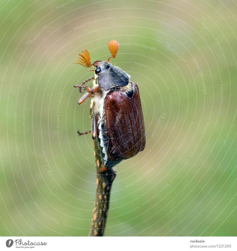 Maikaefer; Melolontha; Natur Tier Käfer krabbeln Maikäfer Maennlich Maennchen Feldmaikaefer Schaedling Insekt cockchafer Malediven Male cockchafer Scha Edling