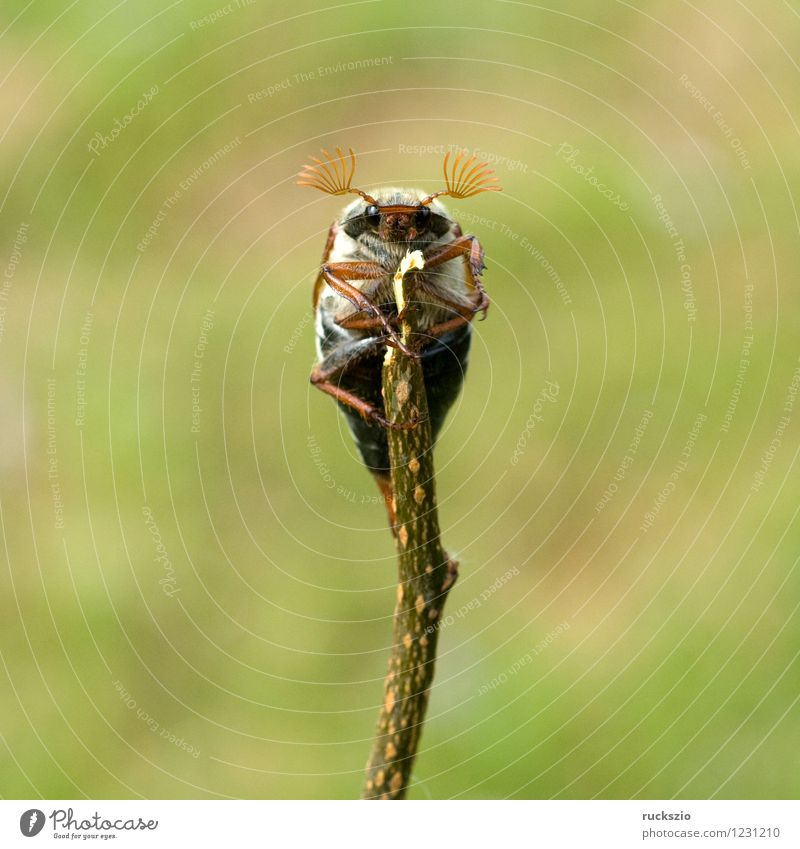 Maikaefer; Melolontha; Natur Tier Käfer Maikäfer Maennlich Maennchen Feldmaikaefer Schaedling Insekt cockchafer Malediven Male cockchafer Scha Edling insect