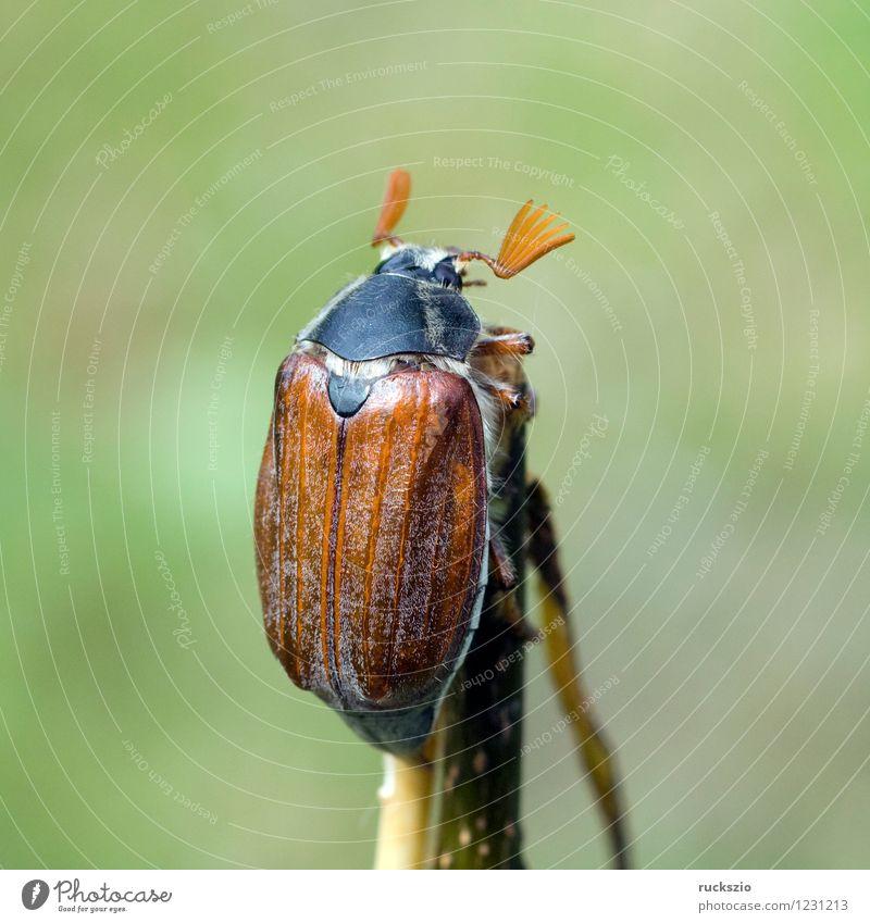 Maikaefer; Melolontha; Natur Tier Käfer laufen Maikäfer Maennlich Maennchen Feldmaikaefer Schaedling Insekt cockchafer Malediven Male cockchafer Scha Edling