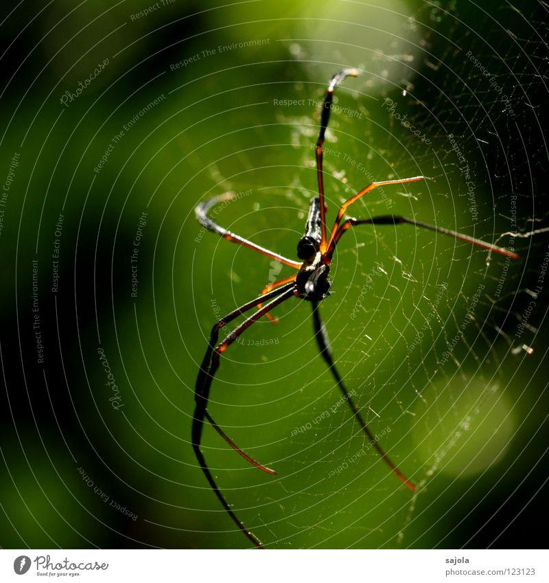 nephila pilipes IV Natur Tier Kopf Beine Angst warten gold Netz Asien beobachten Wildtier Ekel Spinne Singapore Genauigkeit Spinnennetz